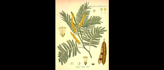 Acacia Sprig